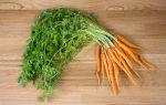 Как заваривать и пить морковную ботву при хроническом варикозе?